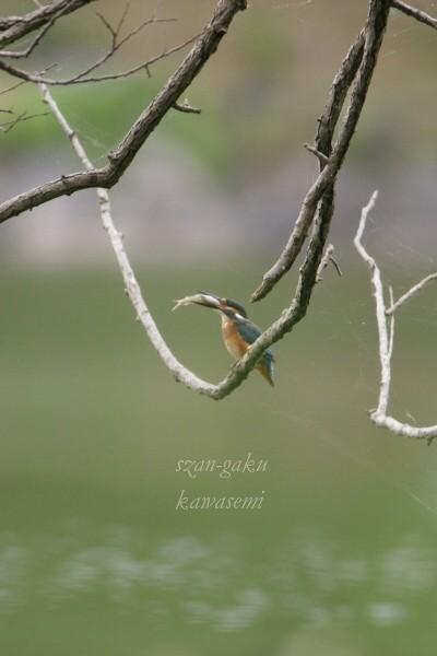 kawasemi3001.jpg